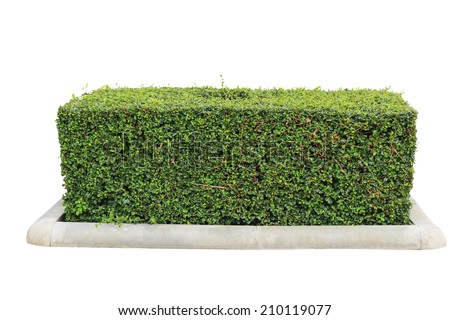 green hedge on isolated - stock photo