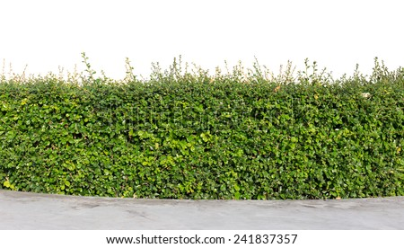 green hedge or green bush isolated on white background  - stock photo