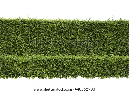 Green hedge or Green Leaves Wall on isolated, ,Objects with Clipping Paths - stock photo