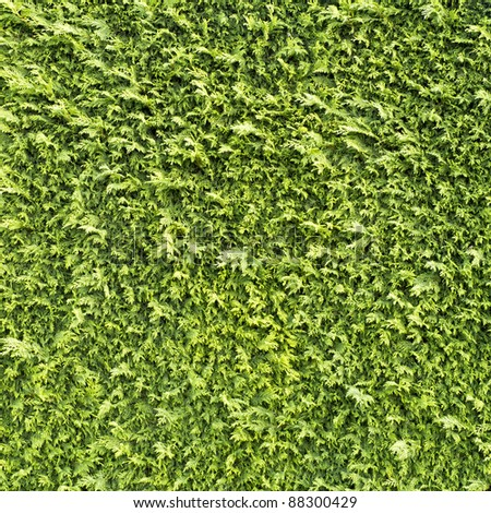 Green hedge texture from garden - stock photo