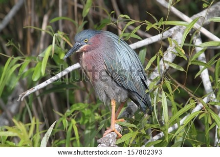 Green Heron (Butorides virescens) in the Florida Everglades - stock photo