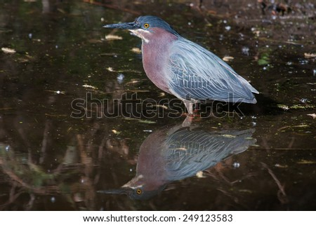 Green Heron (Butorides virescens virescens) fishing for a meal. - stock photo