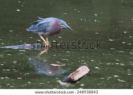 Green Heron hunting on water in his habitat - stock photo