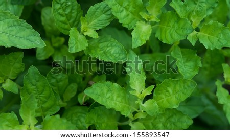 Green holy basil - Thai herbs and spices - stock photo
