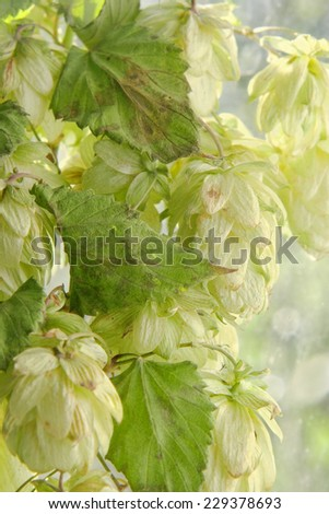 Green hop cones branch with leafs taken closeup.Beer production. - stock photo