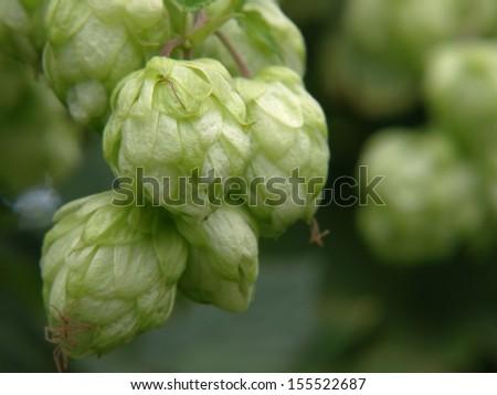 Green hop cones taken closeup.Beer production. - stock photo