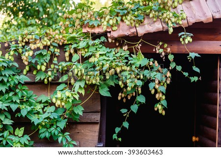 Green hops growing on the roof of an old barn on sunny day. Raw materials for beer production - stock photo