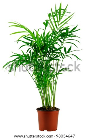 green howea palm-tree in flowerpot isolated on white - stock photo