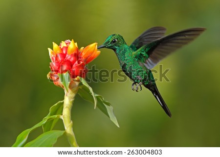 Green hummingbird Green-crowned Brilliant,  Heliodoxa jacula, from Costa Rica flying next to beautiful red flower with clear background - stock photo