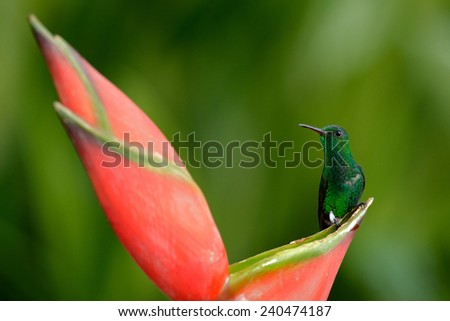 Green hummingbird  Green-crowned Brilliant sitting on nice red flower in Costa Rica - stock photo