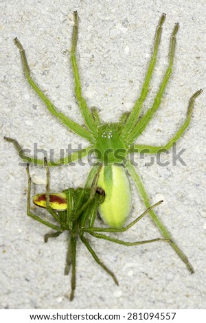 Green huntsman female / Micrommata virescens - stock photo