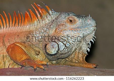 Green Iguana - Iguana on the rock - stock photo