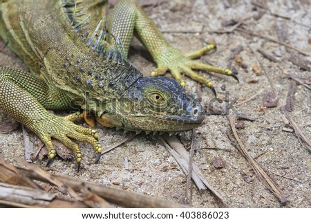 Green iguana in close up - stock photo