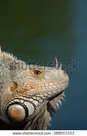 Green Iguana (Latin name: Iguana iguana) - stock photo