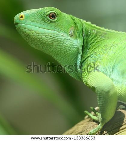 green iguana on tree branch. - stock photo