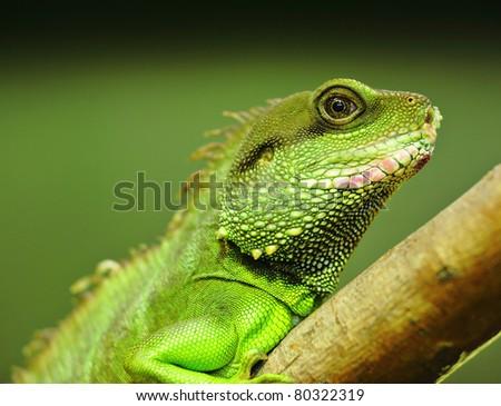 green iguana on tree branch - stock photo