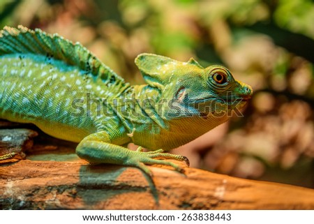 Green iguana or common iguana is large, arboreal, mostly herbivorous species of lizard of genus Iguana native to Central, South America, and Caribbean. - stock photo