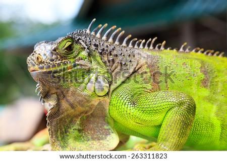Green Iguana Reptile Portrait Closeup - stock photo
