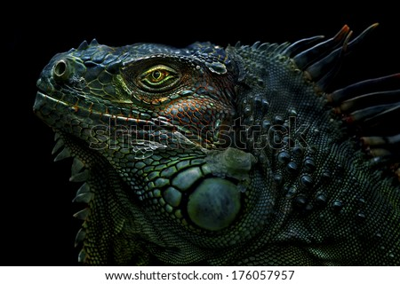 Green Iguana The green iguana is a large, arboreal, mostly herbivorous species of lizard of the genus Iguana native to Central, South America, and the Caribbean. - stock photo