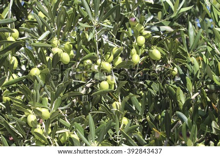 Green  immature olives ripening to deep purple on a street tree growing in Bunbury, Western Australia in early autumn  attract native birds like corellas and parrots. - stock photo