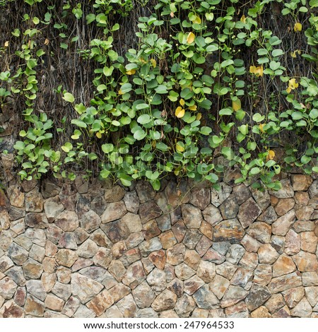 green ivy and stone wall - stock photo