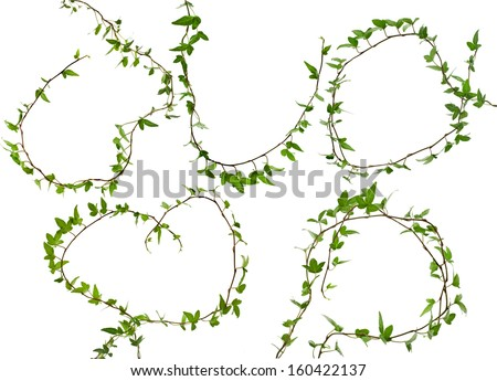 Green ivy branch plant set close up isolated on white background  - stock photo