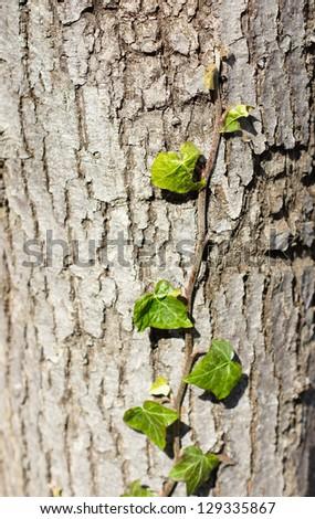 green ivy climbing up tree trunk - stock photo