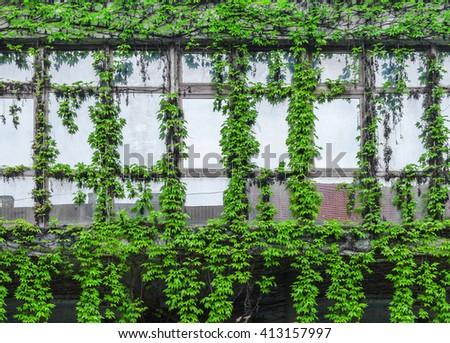 Green ivy creeper on building window - stock photo