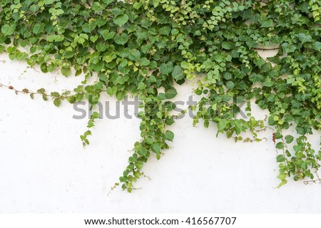 Green ivy isolated on a white background. - stock photo