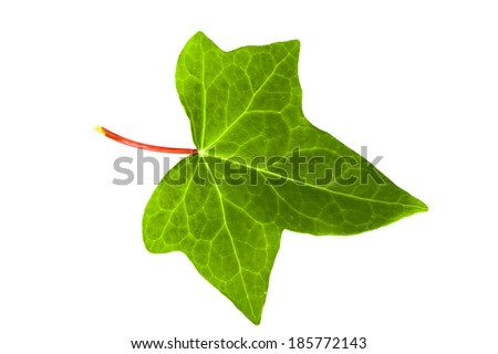 Green ivy leaf - stock photo