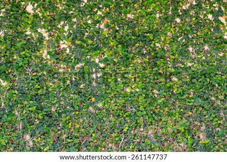Green ivy on the wall for background and texture - stock photo