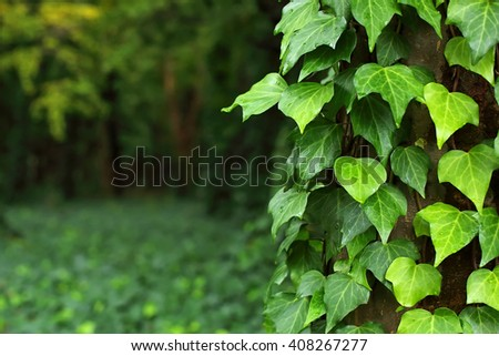 Green ivy on tree trunk in park of Osaka, Japan - stock photo