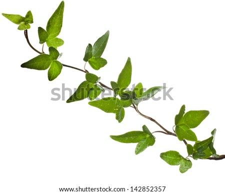 Green ivy plant close up isolated on white background - stock photo