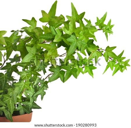 Green ivy plant in flower pot close up isolated on white background - stock photo