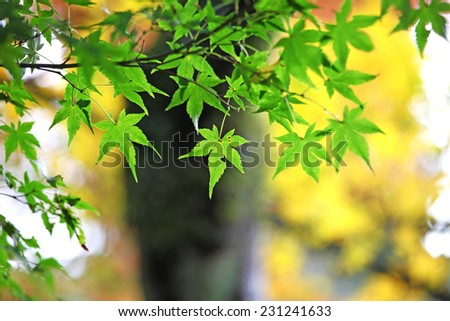 Green Japanese maple leaves - stock photo