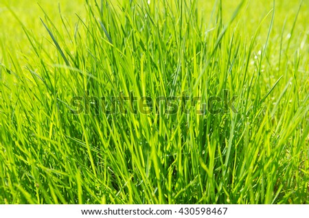 Green, juicy, young, fresh grass. Background of green grass - stock photo