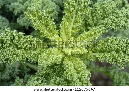Green kale closeup. Green kaile from Denmark. - stock photo