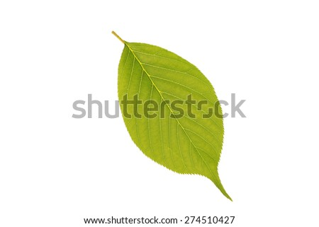 Green leaf isolated on a white background - stock photo