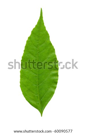 green leaf isolated on the white - stock photo