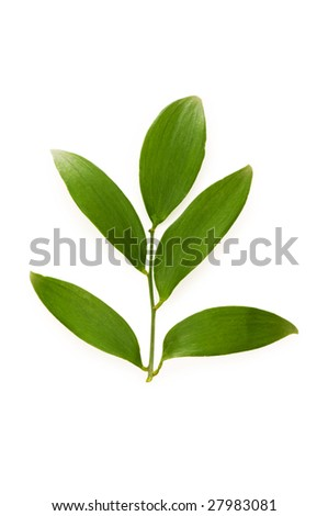 Green leaf isolated on the white background - stock photo