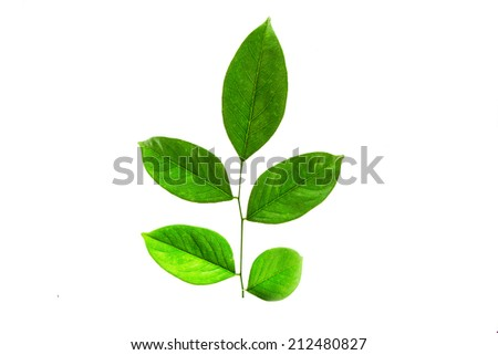 green leaf. Isolated on white background - stock photo