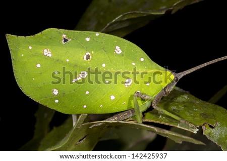 Green leaf mimic katydid in the rainforest understory, Ecuador - stock photo