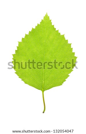 green leaf of a birch tree isolated on white - stock photo