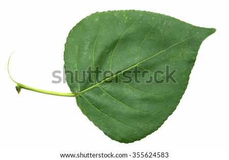 green leaf of a tree on a white background - stock photo