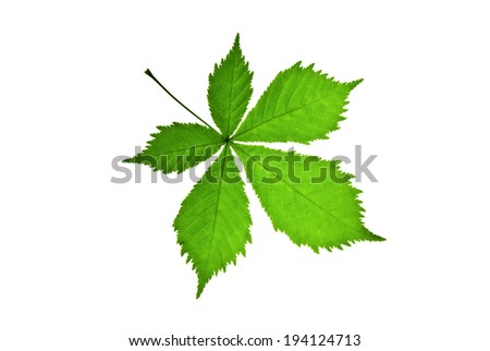 Green leaf of chestnut with clear viewed accurate teeth, isolated on white   - stock photo