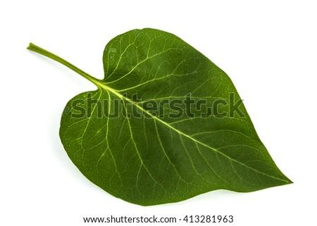Green leaf of Lilac, Syringa vulgaris, isolated on white background - stock photo
