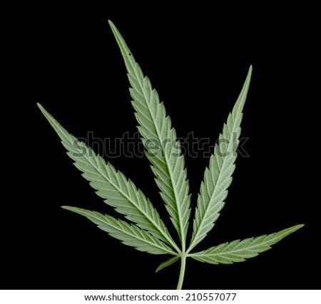 Green leaf of marijuana - stock photo