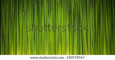 Green leaf of Papyrus abstract background - stock photo