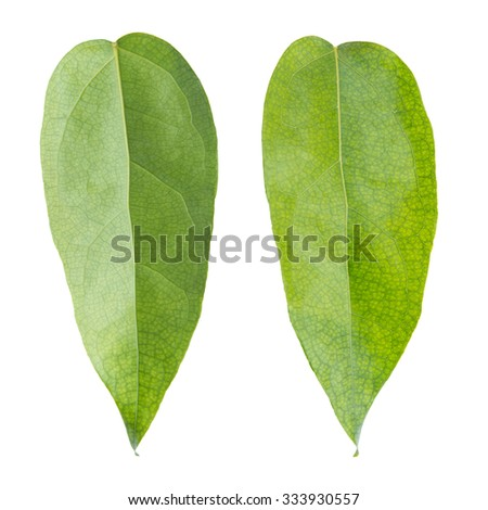 green leaf on a white. Tiliacora triandra leaf. - stock photo