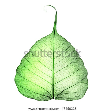Green Leaf over white - stock photo